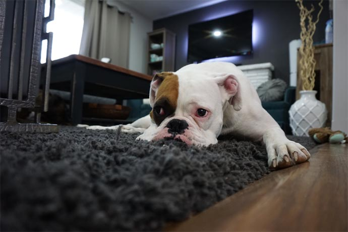 Removing Pet Hair From Your Carpet